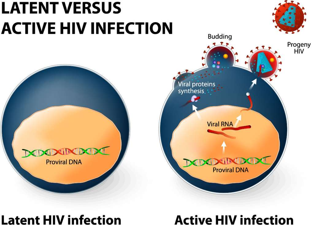 Le VIH est un rétrovirus. Il s'intègre dans le génome de la cellule infectée sous la forme d'un provirus (Proviral DNA, à gauche) qui peut être à l'origine de nouvelles particules virales (Viral RNA, à droite). © Designua, Shutterstock