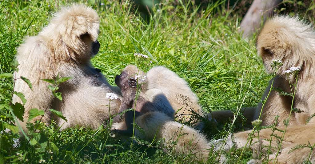 Famille de gibbons. © Michelle Bender, CC by-nc 2.0