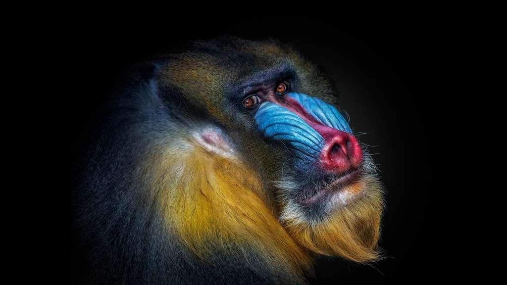Les mandrills sont inscrits sur la liste rouge mondiale des espèces menacées. © Pedro Jarque Krebs, tous droits réservés