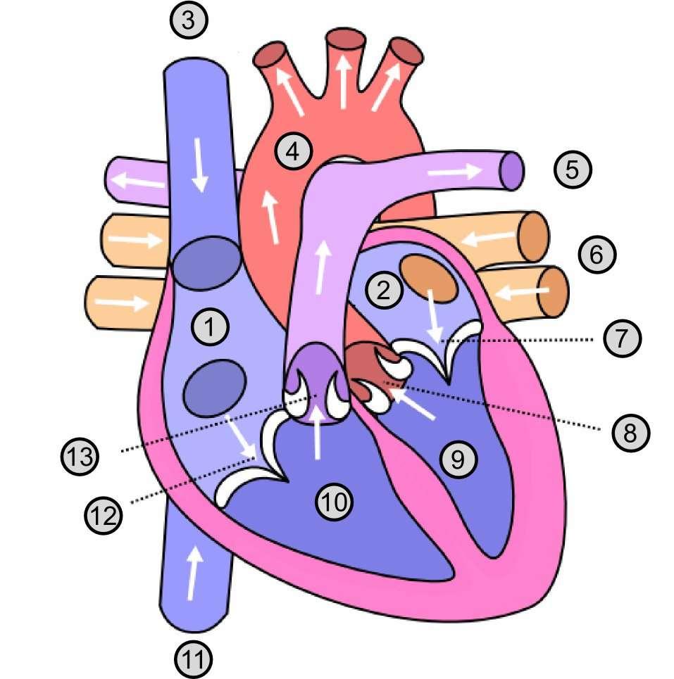 Pour une greffe de cœur, on prélève le greffon sur une personne en état de mort cérébrale dont le cœur fonctionne toujours. Schéma de cœur avec 1 : oreillette droite ; 2 : oreillette gauche ; 3 : veine cave supérieure ; 4: aorte ; 5 : artère pulmonaire ; 6 : veine pulmonaire ; 7 : valvule mitrale ; 8 : valvule aortique ; 9 : ventricule gauche ; 10 : ventricule droit ; 11 : veine cave inférieure ; 12 : valvule tricuspide ; 13 : valvule sigmoïde. © Dake & Wapcaplet, CC by sa 2.5, Wikimedia Commons
