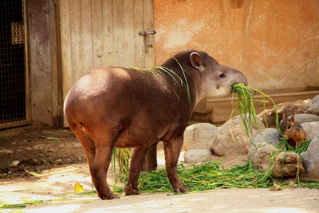 De l'utilité de la trompe du tapir. © Flickr, Superstringphysics, cc by nc 2.0