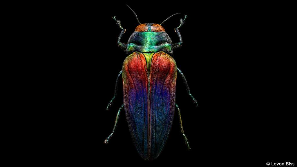 Belionota sumptuosa, splendide scarabée tricolore