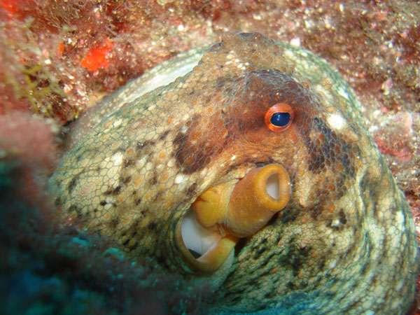 Photo 29. Les poulpes, caractéristiques de la faune sous-marine, envahissent les eaux littorales en été et au début de l'automne avant de se raréfier en hiver. © J. Collina-Girard