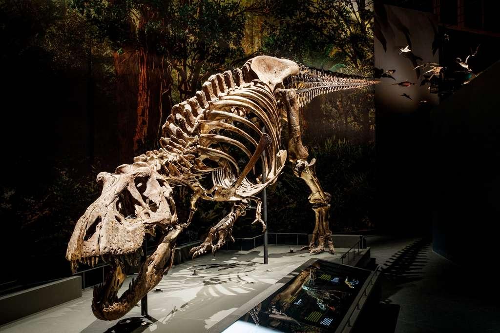 Ici, le squelette de Trix au centre de recherche sur la biodiversité de Leiden (Pays-Bas). C'est ce T-Rex que les chercheurs de l'université libre d'Amsterdam ont modélisé dans leur étude sur la démarche du dinosaure. © Mike Bink, Centre de recherche sur la biodiversité de Leiden