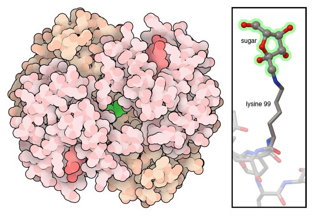 Une hémoglobine glycolée, issue de la réaction entre un sucre et une lysine. © David S. Goodsell, RCSB PDB