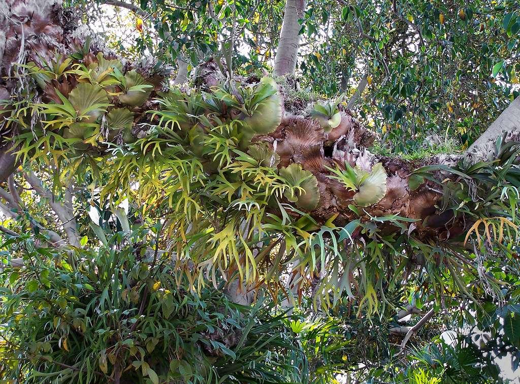 La fougère corne de cerf Platycerium bifurcatum vit en colonies sur un substrat. © James Gaither, Flickr