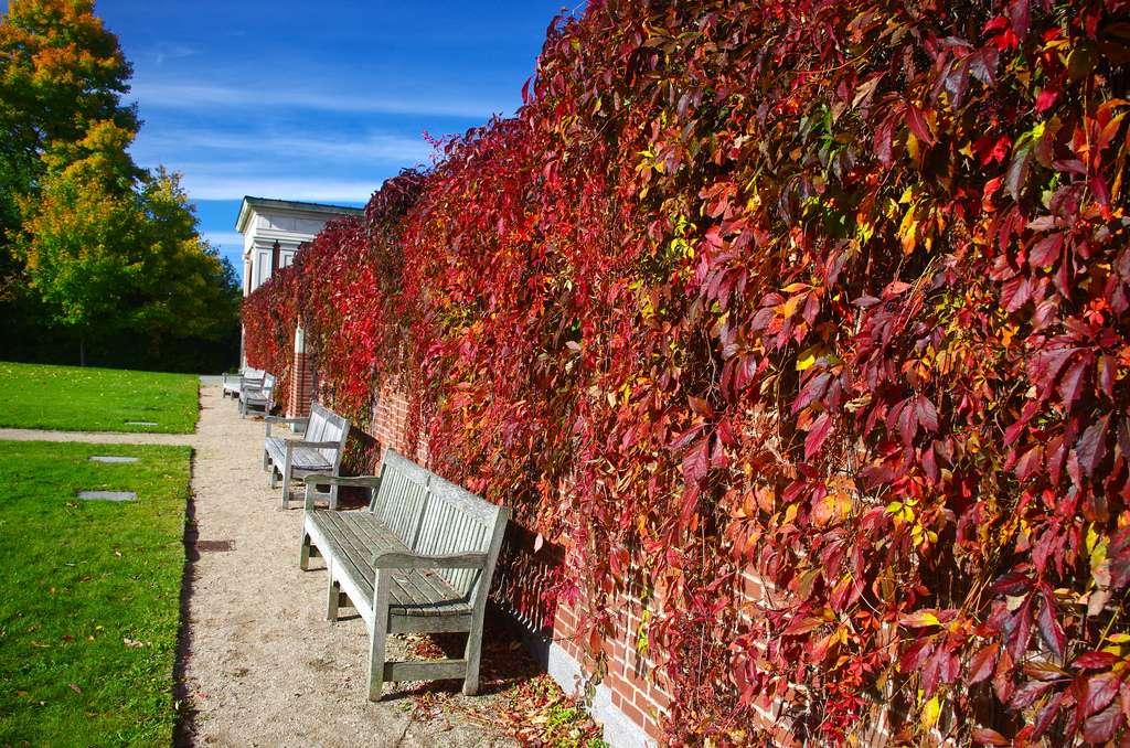 La vigne vierge peut offrir un joli contraste par rapport à une pelouse par exemple. © Magnolia 1000, Flickr, CC by-nc-sa 2.0