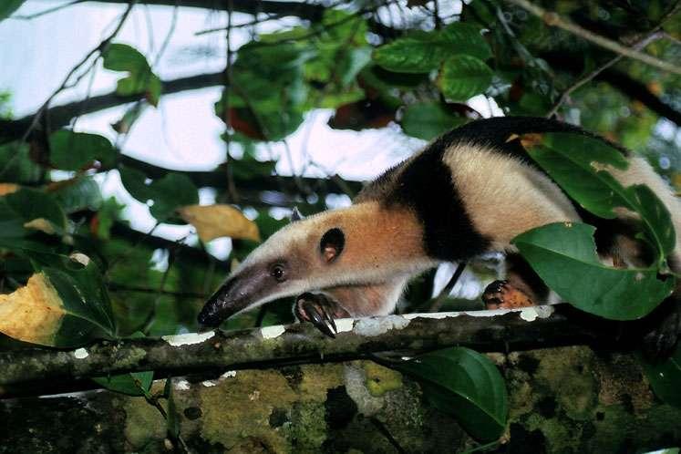 Le tamandua (Tamandua mexicana). © Sylvain Lefebvre et Marie-Anne Bertin