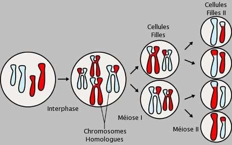 Ce schéma explique la méiose. À partir de deux paires de chromosomes homologues, on observe de la recombinaison génétique qui aboutit, à terme, à quatre gamètes tous constitués d'un patrimoine génétique différent. © NIH, Wikipédia, DP