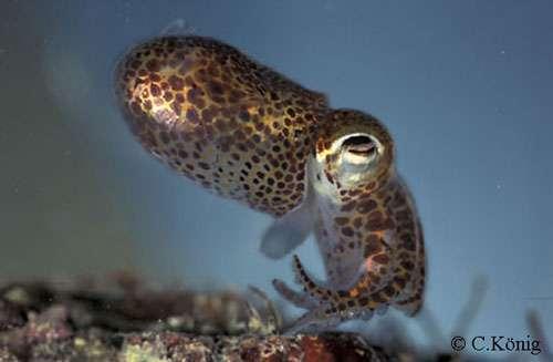 Œil de céphalopode, très proche de l'œil humain. © Christian König, reproduction et utilisation interdites
