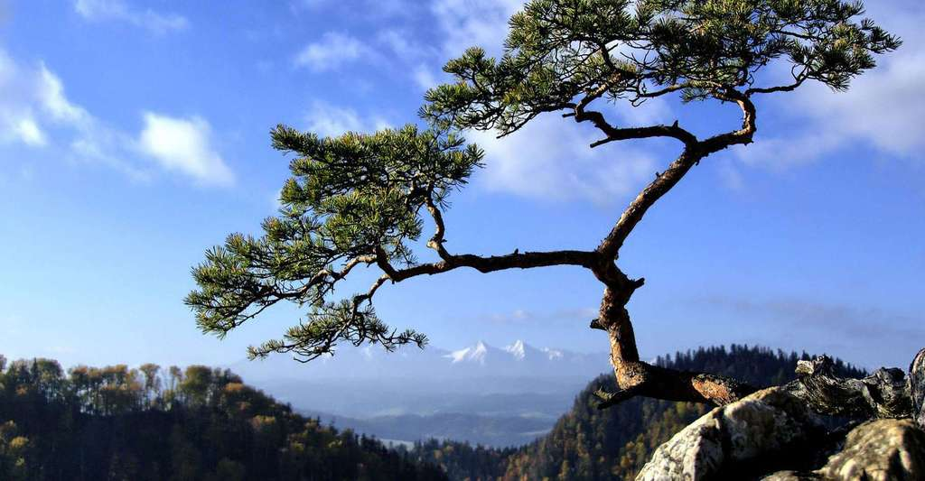 Le pin laricio de Corse. © Altagna, Creative Commons Attribution 2.0 Generic license