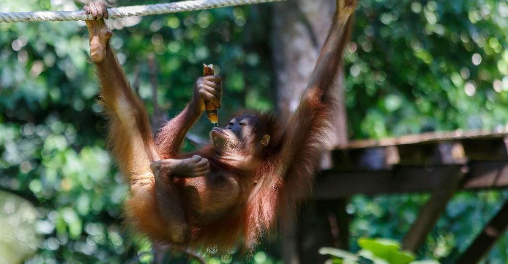 Jeune orang-outan. © CEphoto, Uwe Aranas, Wikimedia commons, CC by-sa 3.0