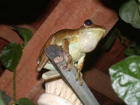 La biodiversité des grenouilles est spectaculaire, et en saison des pluies les champs des grenouilles deviennent assourdissants. Cette « rainette patte d'oie » (Hyla boans) chantait tout près de mon hamac, et j'ai préféré déménager pour assurer la tranquillité de mon sommeil. © François Catzeflis