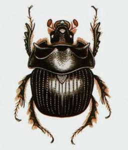 Bolbelasmus gallicus, autre nom de Bolboceras gallicus, grand amateur de truffes. © DP