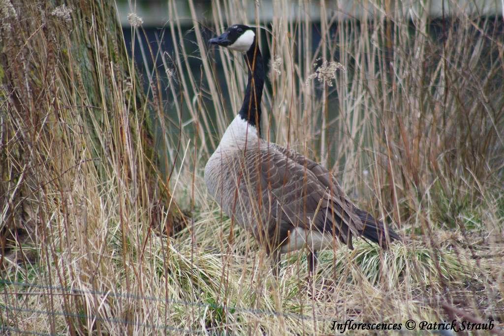 Bernache du Canada cherchant un lieu pour nidifier. © Patrick Straub