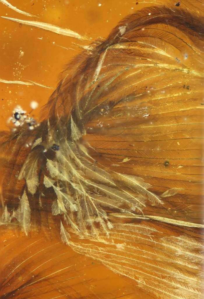 Détail des plumes de l'oisillon. Dès sa sortie de l'œuf, il devait être capable de voler. © Ming Bai, Chinese Academy Of Sciences