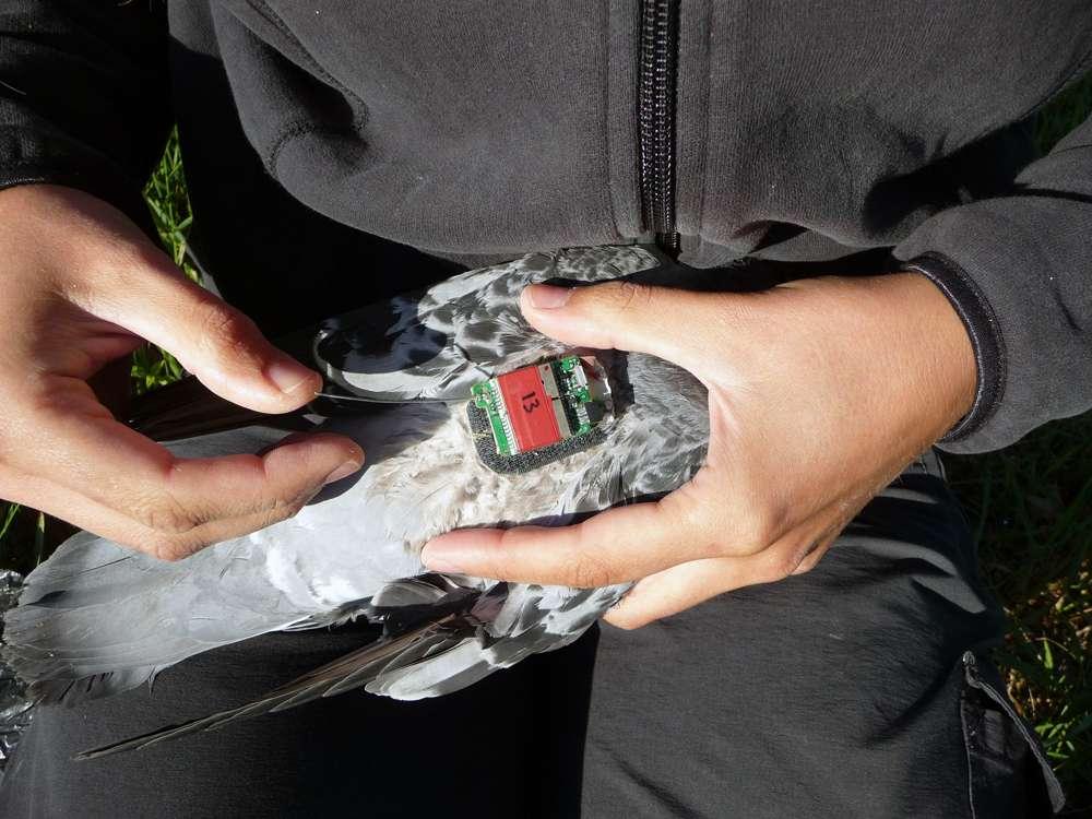 Ce pigeon voyageur a pris part à l'expérience de Nicole Blaser. Dans ce cadre, il a été équipé de l'enregistreur GPS no 13. Classiquement, le poids d'un appareil électronique de géolocalisation ne doit pas excéder 3 % du poids de l'oiseau sur lequel il est fixé. © UZH