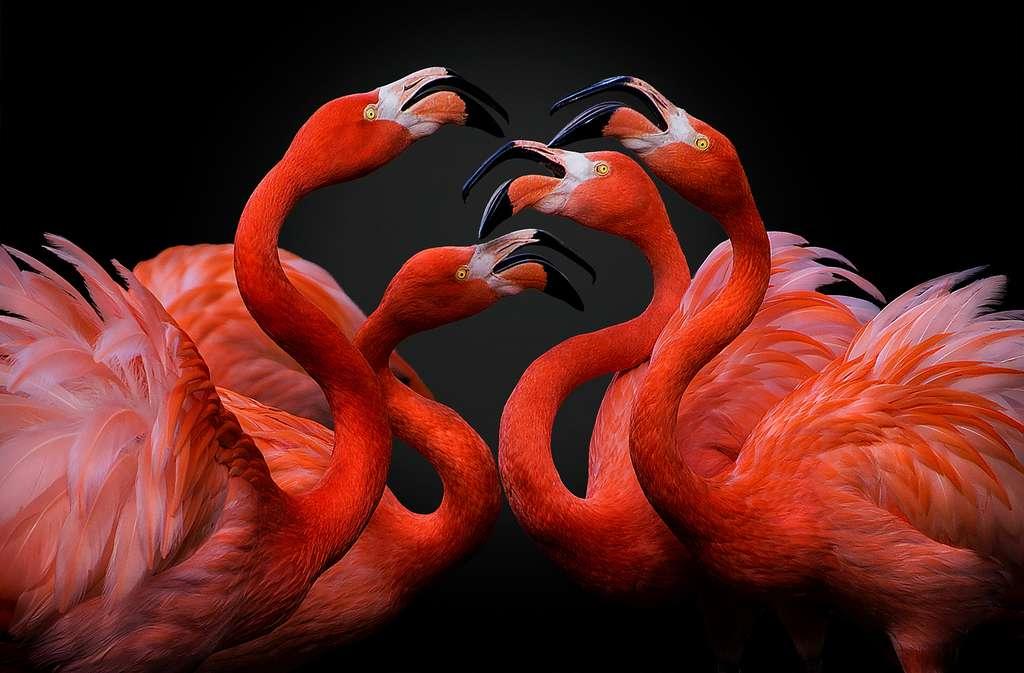 Le flamant rouge, une espèce en bonne santé