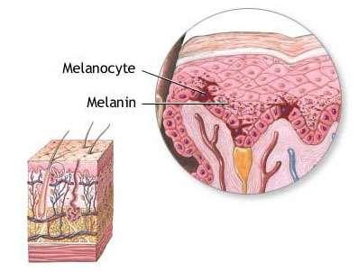 Dans l'épiderme, les mélanocytes (cellules foncées) sont peu nombreuses, mais sécrètent de la mélanine et la diffusent aux cellules aux alentours (cellules claires). Crédits DR