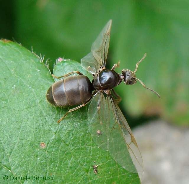 Lasius niger, la fourmi des jardins. © Danièle Benucci / Flickr - Licence Creative Common (by-nc-sa 2.0)