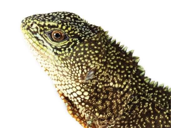 Enyalioides anisolepis tire son nom d'un mot grec qui signifie « écailles inégales ». L'espèce vit à la fois dans le nord du Pérou et au sud de l'Équateur, entre 724 et 1.742 mètres d'altitude. © Omar Torres-Carvajal et al., ZooKeys
