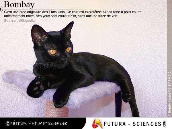 Le chat Bombay