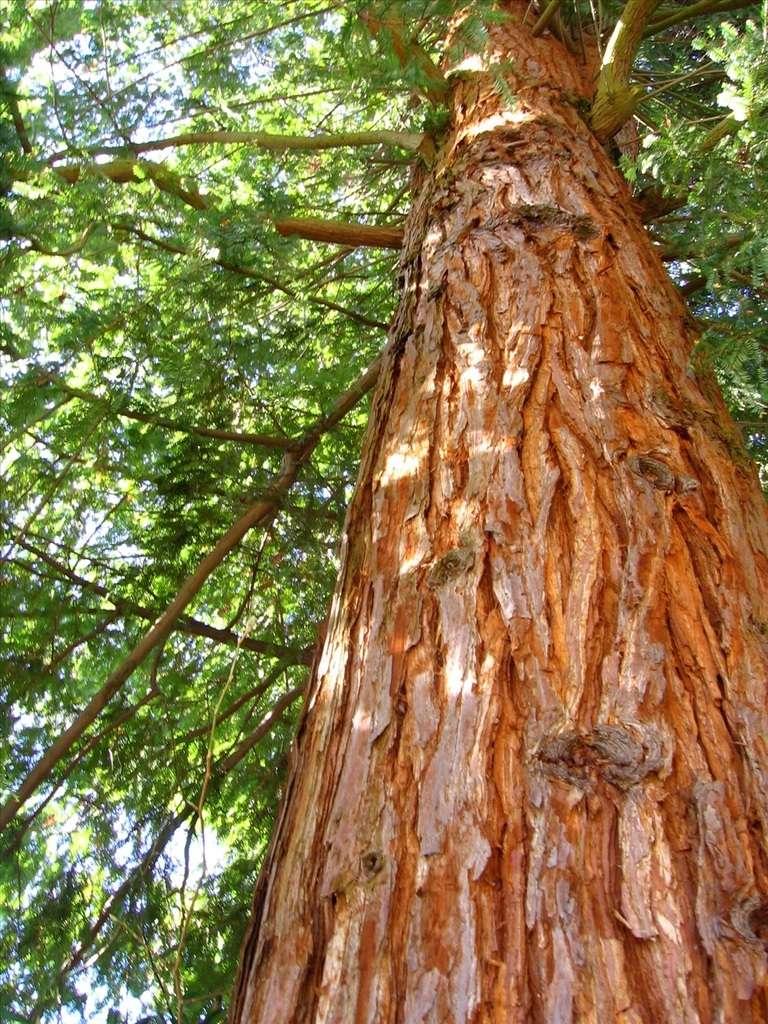 Le thuya géant est également appelé « thuya de Californie ». © Elle EPP, Flcikr CC by nc-sa 2.0