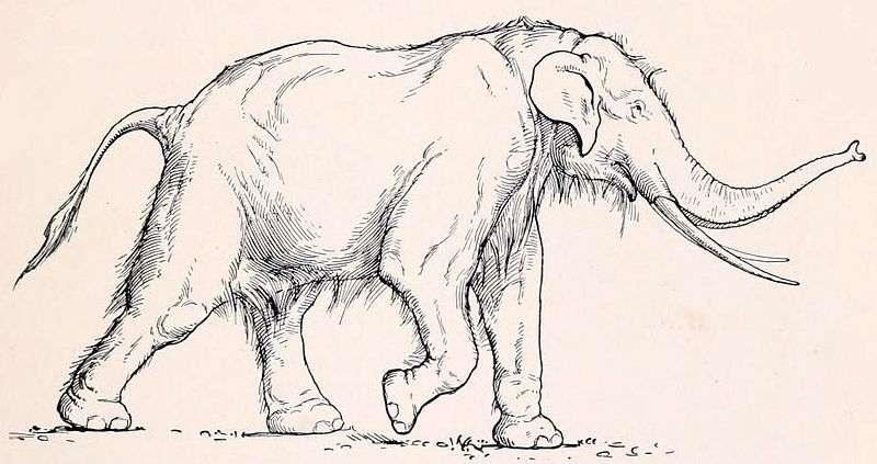 Les éléphants Palaeoloxodon antiquus ont disparu voilà 11.500 ans. Ils atteignaient 3,7 m de haut et possédaient une langue longue de 80 cm. Selon certains spécialistes, elle pouvait être projetée à courte distance pour saisir des végétaux. © H. Osborn, Wikimedia commons, DP