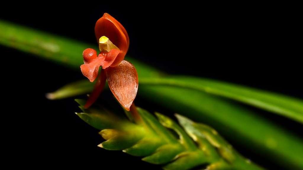 Stichorkis, une orchidée aux rhizomes écailleux