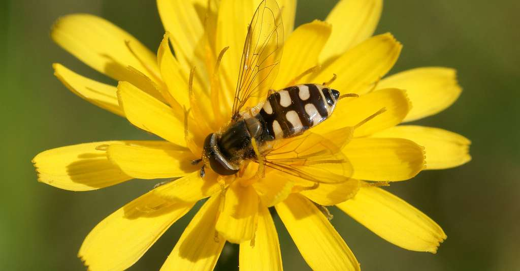 Femelle Eupeodes corollae. © kallerna, Wikimedia commons, CC by-sa 3.0