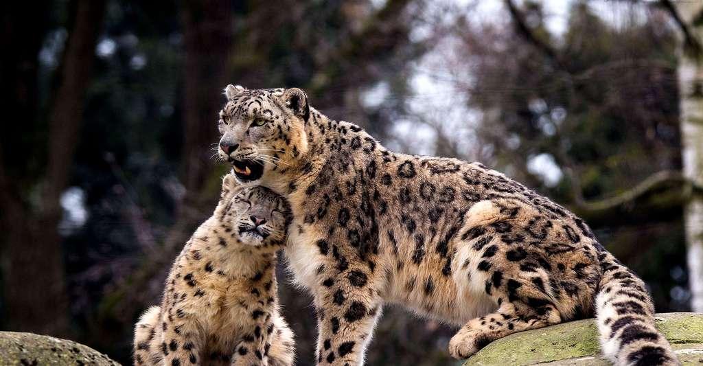 Le léopard des neiges avec son petit. © Cloudtail the Snow Leopard, Flickr, CC by-nc 2.0