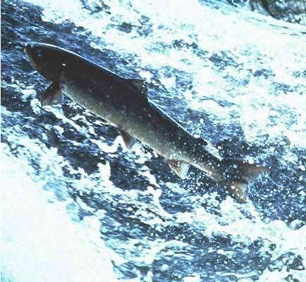 Saumon de l'Allier © H. Carmié - Photothèque CSP Reproduction interdite sans autorisation de l'auteur