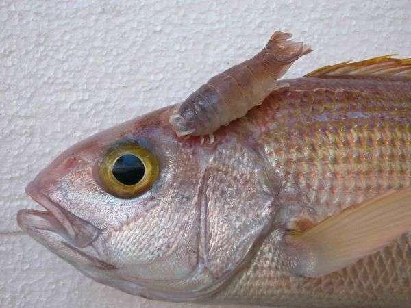 Les parasites sont généralement petits et invisibles à l'œil nu. Exception ici, ce gros isopode parasite (Anilocra gigantea) photographié vivant sur le poisson Pristipomoides filamentosus. Il est maintenant dans les collections du Muséum national d'histoire naturelle. © Jean-Lou Justine / Muséum national d'Histoire naturelle