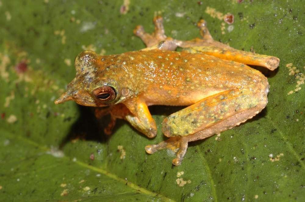 Litoria vivissimia est une grenouille arboricole des forêts de Papouasie qui se distingue par une petite protubérance pointue entre ses narines. © Stephen Richards