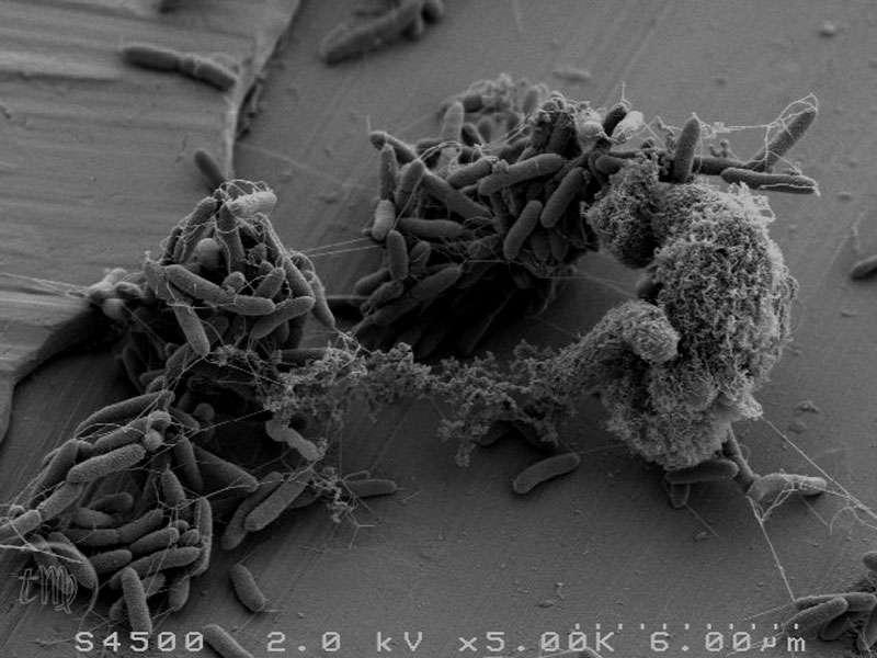 Pseudomonas fluorescens fait souvent partie de la flore résidente des réfrigérateurs domestiques. Cette bactérie est une de celles qui va altérer les aliments, dont les viandes. © Thierry Meylheuc, plateforme MIMA2, Micalis, Massy/Inra