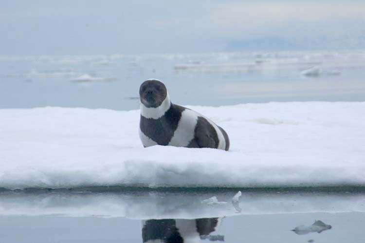 Phoque à ruban. © M. Cameron, NOAA, domaine public