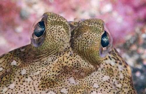 Œil de turbot : les deux yeux sont du même côté, le turbot étant un poisson plat, l'œil de dessous s'est déplacé. Il en est de même chez la sole par exemple. © Reproduction et utilisation interdites