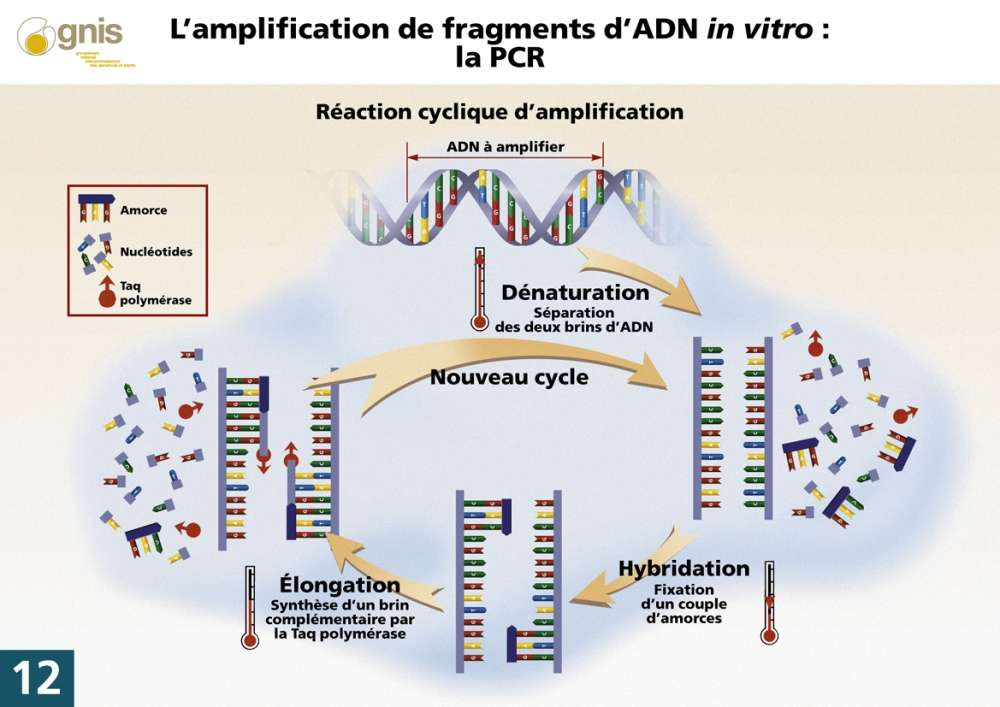 La technique d'amplification de l'ADN par PCR. © gnis-pedagogie.org