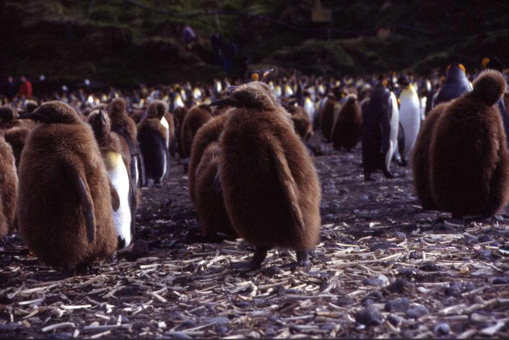 De jeunes manchots des îles Crozet, dans la réserve naturelle nationale des Terres australes françaises. © Dimitri Damasceno, Wikipedia