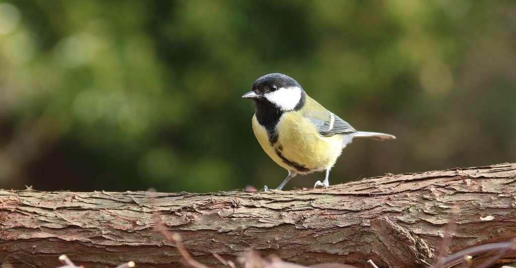 Les chercheurs ont essentiellement travaillé sur des oiseaux afin de bénéficier de données les plus complètes possible. Sur la très commune mésange charbonnière, notamment. © jLasWilson, Pixabay License