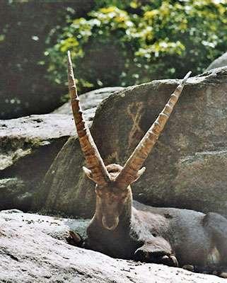 Alpine ibex. © Wikipedia, domaine public