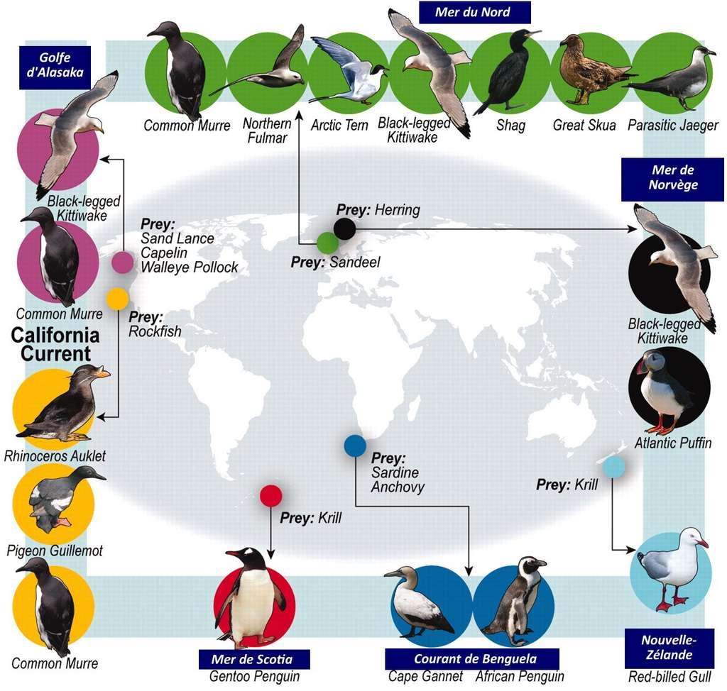 Liste des 14 espèces d'oiseaux étudiées et de leurs proies (prey). © Cury et al. 2011, Science