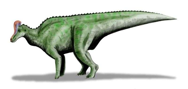 Représentation artistique de Velafrons coahuilensis, un lambeosauriné découvert en 2008 dans la formation géologique de Cerro del Pueblo, sur un site paléontologique de Rancón Colorado (Mexique). La queue mise au jour non loin de là appartiendrait à un dinosaure d'apparence similaire. © Nabu Tamura, Wikimedia commons, cc by 3.0