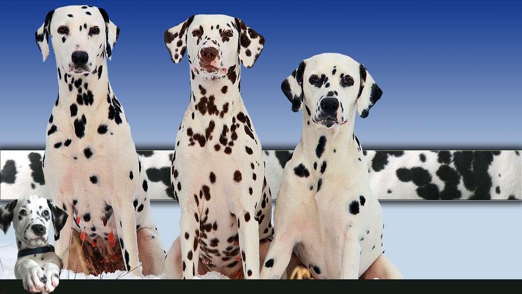 Le dalmatien, un ancien chien de cocher