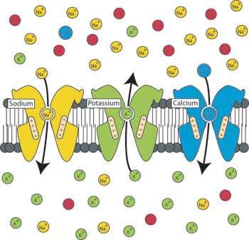 Plusieurs types de canaux ioniques dépendant du voltage existent selon leur capacité de sélection ionique. Le sens du courant qui traverse chaque type de canaux ioniques dépend du sens du gradient électrochimique de chaque ion sélectionné. Les principaux types de canaux ioniques dépendants du voltage sont au sodium (Na+), au potassium (K+) et au calcium (Ca++)(Crédit : Erik Harvey-Girard).