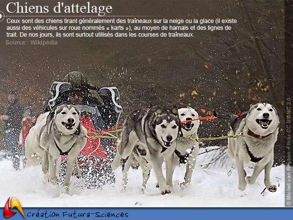 Course de chiens de traineaux