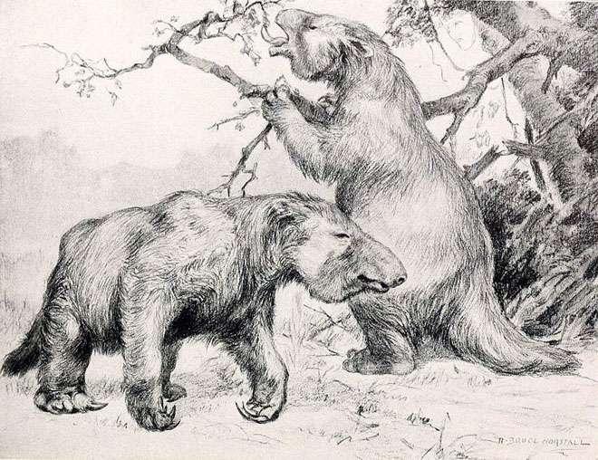Des paresseux géants vivaient en Amérique (du nord et du sud) au Pléistocène. Le plus grand, représenté ici, Megatherium americanum, pouvait atteindre 6 m de haut et peser jusqu'à 4 tonnes. Tous ont disparu il y a environ 11.000 ans. © Robert Bruce Horsfall, 1913, Wikimedia Commons, DP
