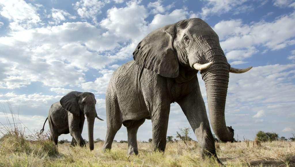 Les 350 éléphants morts au Botswana pourraient avoir été tués par une cyanobactérie. © 2630ben, Adobe Stock