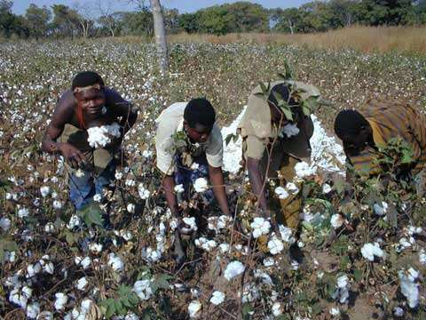Récolte à la main au Burkina Faso © abc Burkina
