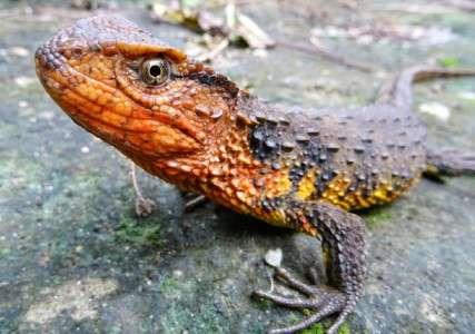 Un crocodile-lézard du Vietnam, déjà repéré en 2003. Les études viennent de montrer qu'il s'agit bien d'une espèce jusque-là non décrite. © Thomas Ziegler, WWF, AFP, Archives